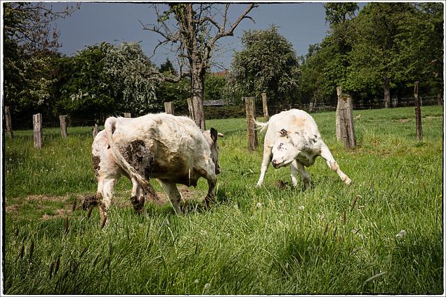 Maladie de la vache folle ?....Non ...retour à la pâture après 3 mois d'étable...
