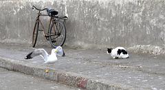 mouette et chat à Essaouira