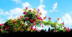 Roses and the sky
