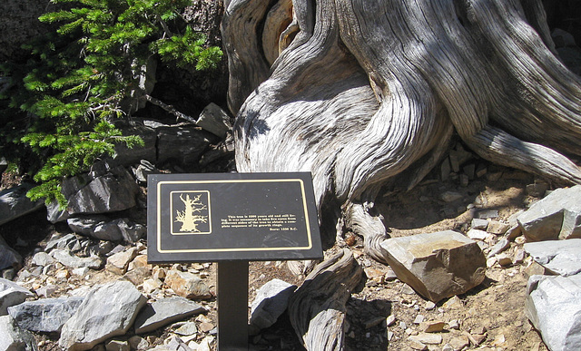 Great Basin National Park Bristlecone pines (#1153)