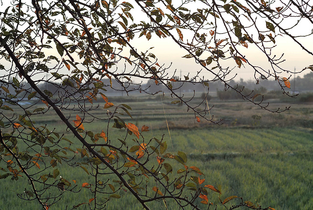 Colored leaves over paddy fields