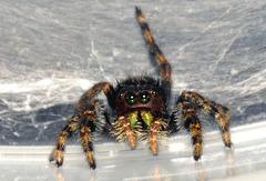 phidippus spider-jumping-OCT-2-2010-A-DSC 1904