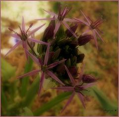 Bon Vendredi / HFF/Etoile de Perse ... l'Allium christophii !