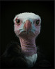 White-headed vulture. Trigonoceps occipitalis. Vulnerable to Extinction.