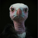 White-headed vulture. Trigonoceps occipitalis. Vulnerable to Extinction.