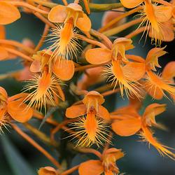 Platntera ciliaris (Yellow Fringed orchid)
