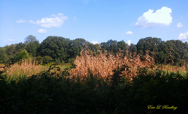 End of the cornfield