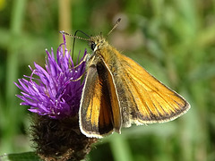 Small  Skipper on Knapweed.  Thymelicus sylvestris on Centaurea species.