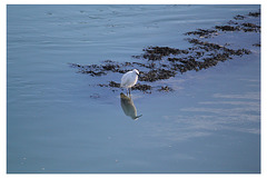 A Little Egret looking for lunch - Newhaven - 2.10.2014