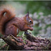 Early Morning Red Squirrel
