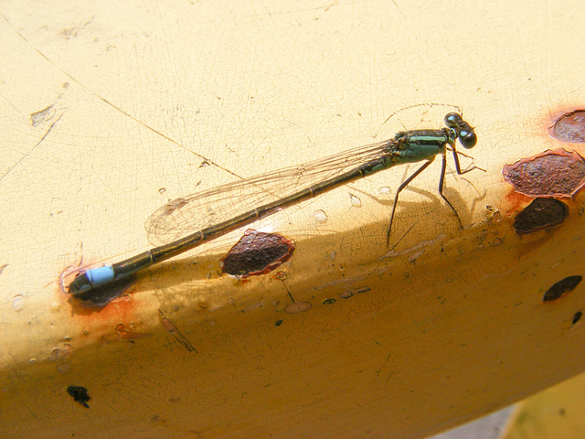 Blue Tailed Damsel Fly
