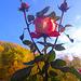 Drei Rosen mit Himmel - tri rozoj kun ĉielo