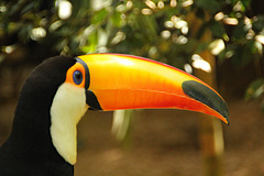 A Toco Toucan shows off his huge beak.