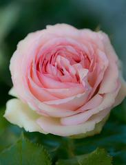 Festival des roses 2015