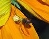 goldenrod spider DSC 0514