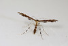 Wood-sage Plume (Capperia britanniodactylus)