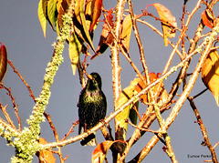 Starling In The Branches.