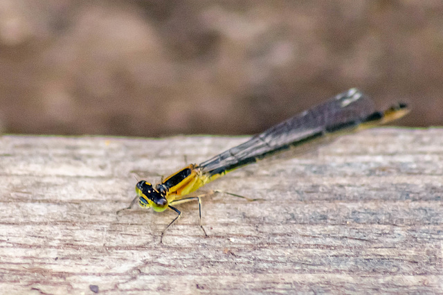 Blue Tailed Damselfly!
