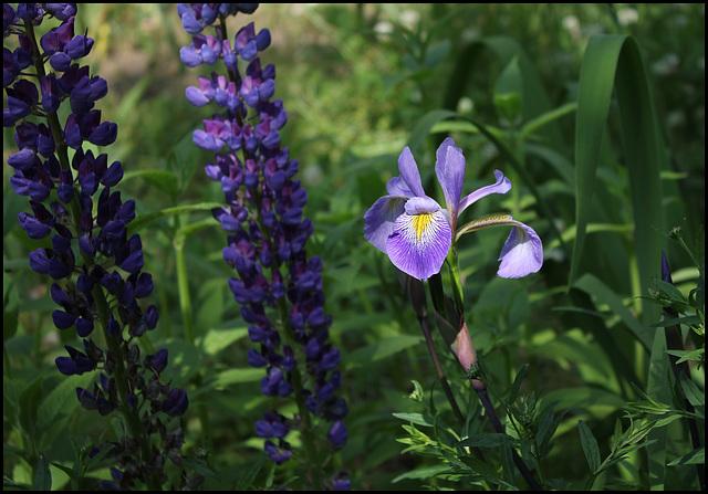 Iris robusta (2)