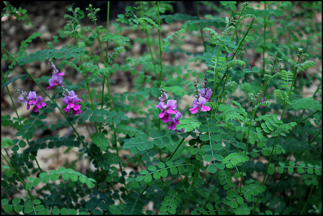 Indigofera gerardiana (1)