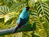 Green Honeycreeper male, Asa Wright Nature Centre, Trinidad