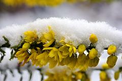 Kontrast - Mahoniablüten im Neuschnee