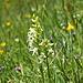 Waldhyazinthe - (Platanthera)