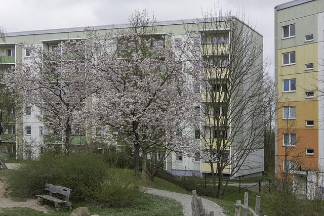 (112/365) Blühende Bäume in der Friedrich-Viertel-Straße