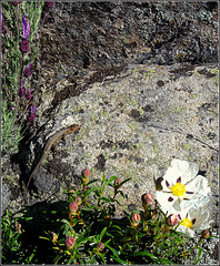 Lizard, cistus/jara, Spanish lavender and granite