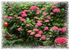 hydrangeas ...flower greetings from my garden :-)