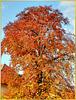Rotbuche im Herbst... ©UdoSm