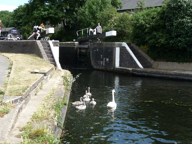 Coppermill Lock ~ Grand Union Canal ~ This swan still has six of her seven cygnets remaining ~ that is pretty good
