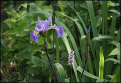 Iris robusta (3)