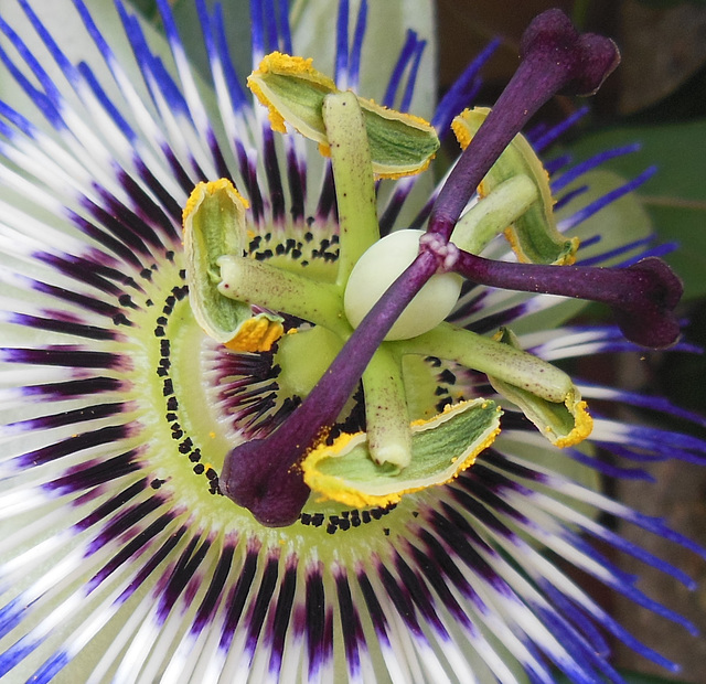 P like PASSION flower