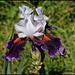 Iris Sharpshooter