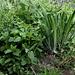 Iris robusta (4)