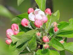 Apfel-Blütenknospen