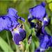 Iris Bleu ...