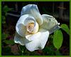 Cette Rose pour vous souhaiter un bon we ensoleillé à tous !