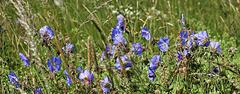 Wild And Blue Geraniums