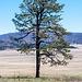 A lone tree in Valles caldera