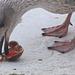 Juvenile herring gull enjoys a raw clam
