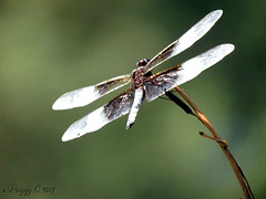 Widow Skimmer ..