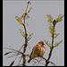linotte mélodieuse et bourgeons de frêne