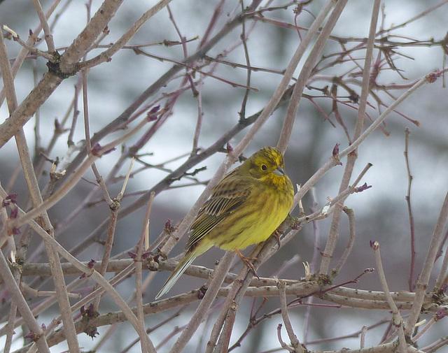 Bruant jaune  (Emberiza citrinella)  (Yellowhammer)