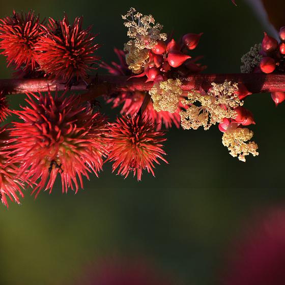 Le ricin, une plante aux allures exotiques