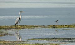 Grey Heron and Black-winged Stilt, Klein River lagoon