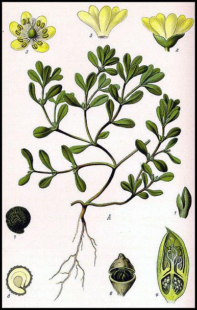 378px-Illustration Portulaca oleracea0