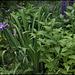 Iris x robusta (3)
