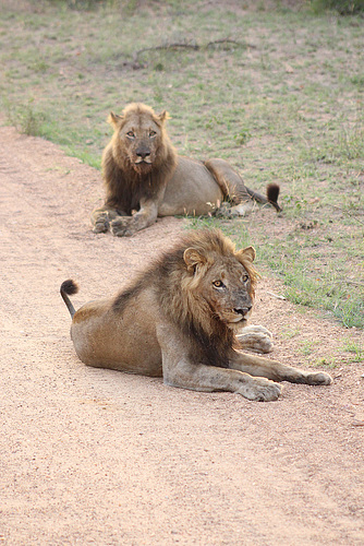 Early Morning Lions